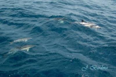 20100110111718-delfin-mediterraneo.jpg