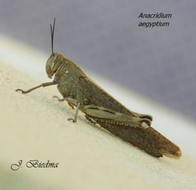 20100123131902-anacridium-aegyptium-sg.jpg